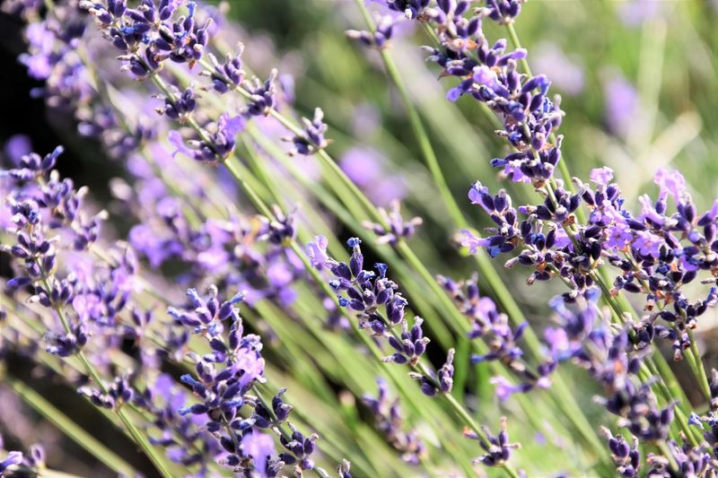 Lavender Beauty In Nature Close-up Flower Flower Head Lavender Lavenderflower Lilac Nature Plant Purple