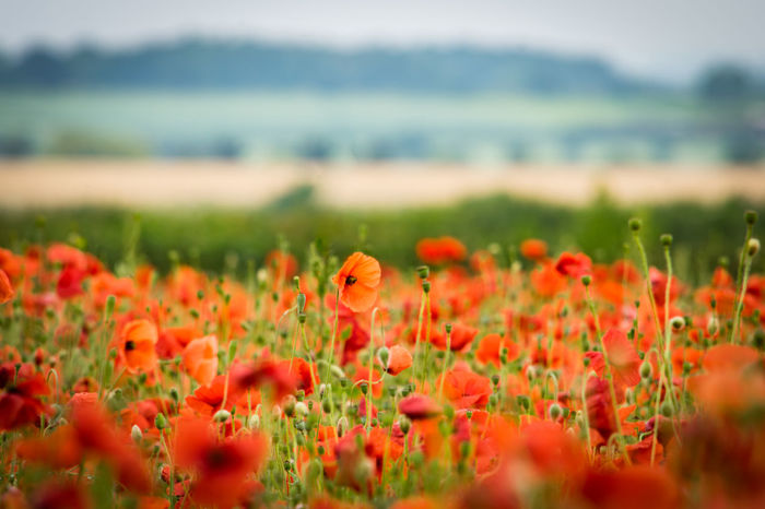 Poppies in a field. Field Field Of Flowers Fields Fieldscape Flower Flower Collection Flowers Nature Poppies  Poppies Field Poppies In Bloom Poppy Poppy Field Poppy Fields Poppy Flower Poppy Flowers Red Red Flower Red Flowers Outdoors Blooming No People Beauty In Nature Plant Poppies