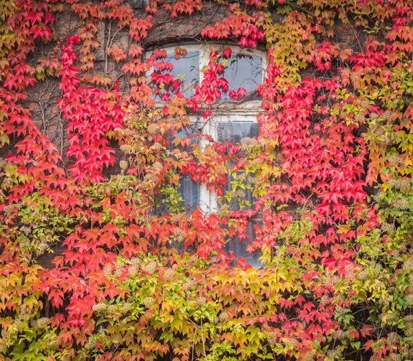 Red ivy on house with white window Plant Flower Flowering Plant Nature No People Autumn Plant Part Leaf Beauty In Nature Growth Water Day Red Outdoors Freshness Tree Change Reflection Ivy Natural Condition