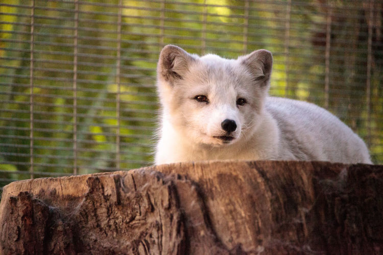 Arctic fox vulpes lagopus has brown fur in the warmer months and white fur in the winter