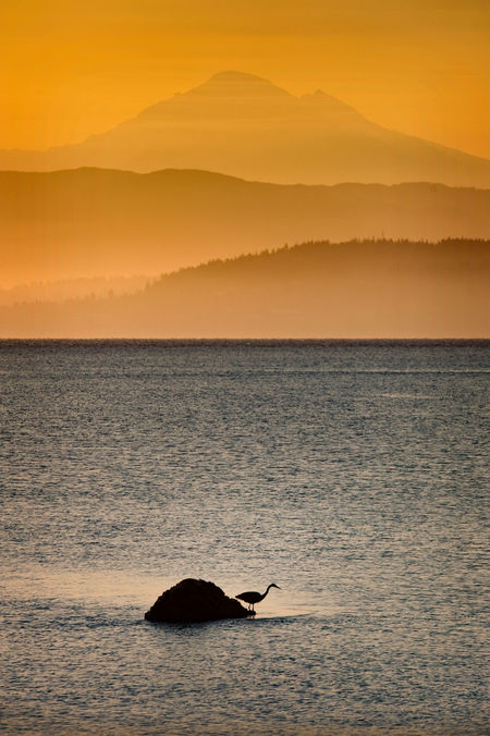 A great blue heron waits patiently for a small fish to swim by for a tasty meal. The great Mt. Baker is silhouetted in the background on this lovely summer sunrise. Atmosphere Avian Beauty In Nature Bellingham Bay Bellingham, Washington Coastline Dawn Great Blue Heron Heron Mountains Mt. Baker Nature North Cascades Outdoors Pacific Northwest  Puget Sound Rock Salish Sea Sea Shore Silhouette Sunrise Tranquil Scene Volcano Washington
