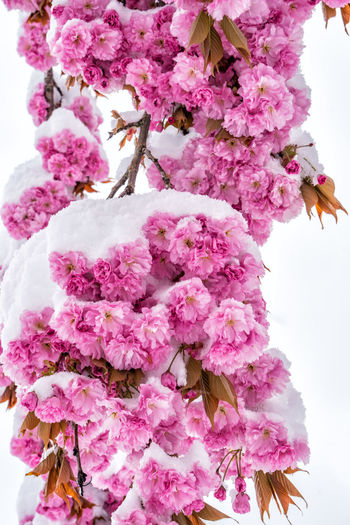 Cherry blossom and snow Japanese Cherry Blossoms Japanese Cherry Prunus Serrulata Snow Spring Cherry Tree Cherry Blossom Bunch Of Flowers Outdoors Inflorescence Flower Head Tree Springtime Day Low Angle View Blossom Petal No People Nature Close-up Growth Fragility Vulnerability  Beauty In Nature Freshness Plant Flower Flowering Plant Pink Color Alps Austria Tyrol