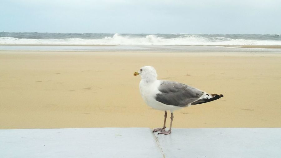 Bird One Animal Animal Themes Animal Wildlife Beach Sand Sea No People Nature Perching Outdoors Water Day Seagull Sea Wall OceanCity Maryland