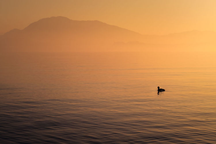 Silhouette bird swimming in lake during sunset