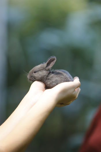 Cropped Image Of Hands Holding Rabbit