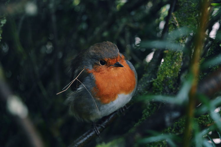 Robin, taken in the hight garden at Lanhydrock Beauty In Nature Close-up Day Focus On Foreground Grass Growth Nature No People Orange Color Outdoors Plant Selective Focus Market Reviewers' Top Picks