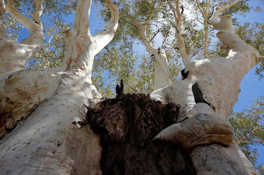 Alice Springs Australia Australian Landscape Beauty In Nature Branches Branches And Sky Finding New Frontiers Growth Gum GumTree Lookingup Nature Nature Nature Photography Outdoors Sky Tree Tree Tree And Sky Tree Trunk Tree Trunk