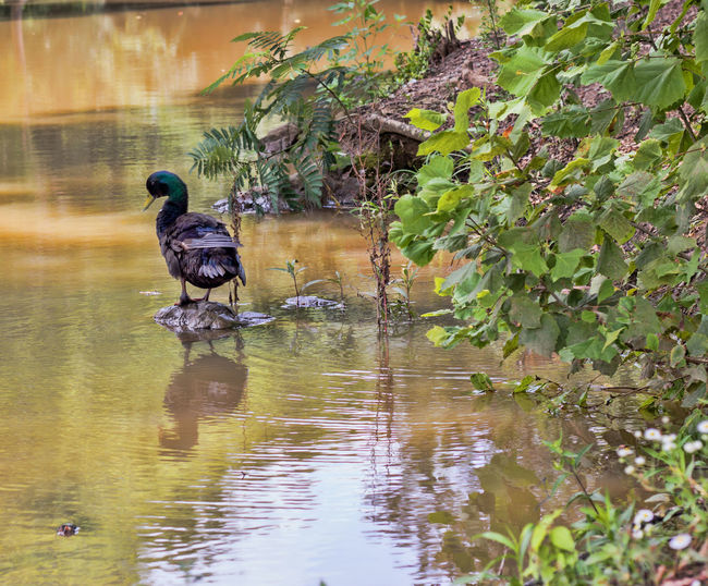 Duck Sitting on a Rock Creek Animal Animal Themes Animal Wildlife Animals In The Wild Beauty In Nature Bird Day Duck At Pond Duck On Rock Duck Reflection Nature No People One Animal Outdoors Plant Reflection Vertebrate Water