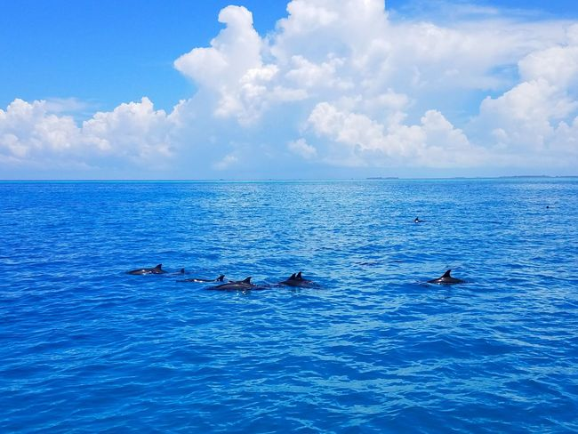 A school of dolphins swimming in the water near Maldives Dolphins Mammal View Animals In The Wild Sea Animal Wildlife Blue Cloud - Sky Nature Animal Themes Sea Life Outdoors Swimming Sky Water Beauty In Nature No People