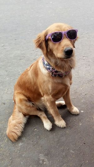 Dog Pets Animal Themes One Animal Domestic Animals Sitting Outdoors Day Sunglasses Cool Cool Dog Cute Cute Dog  🐶dog Golden Retriever Pet Clothing