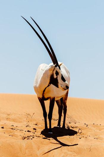 Oryx standing on desert land against sky