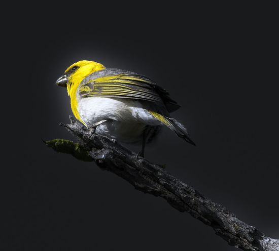 Hawaii Endangered Palila Animal Themes Animal Wildlife Animals In The Wild Beak Beauty In Nature Bird Black Background Branch Close-up Nature No People One Animal Outdoors Palila, Perching Yellow