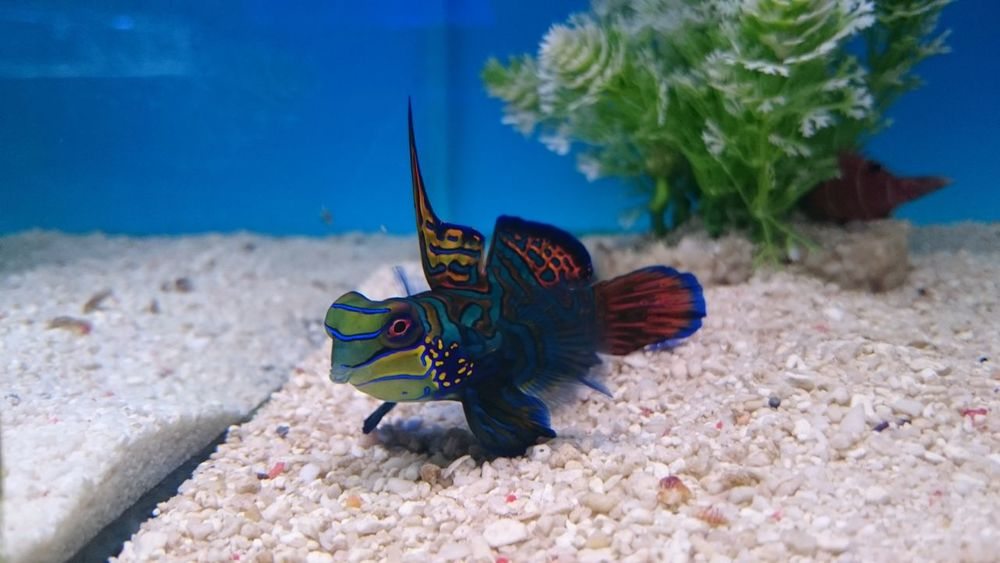 Mandarin Goby Beautiful Bright Sealife Animal Themes Animal Wildlife Beauty In Nature Close-up Colour Coral Day Fish Goby Gorgeous Mandarin Marine Nature No People One Animal Outdoors Pretty Sea Sea Life Swimming UnderSea Underwater