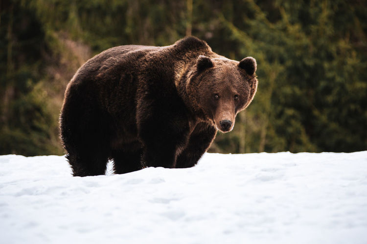 One Animal Animal Themes Animal Snow Mammal Cold Temperature Winter Animals In The Wild Animal Wildlife Nature Vertebrate No People Day Bear Land Walking Field Outdoors Brown Bear Wildlife Wildlife & Nature Wildlife Photography Nature_collection Nature Transylvania