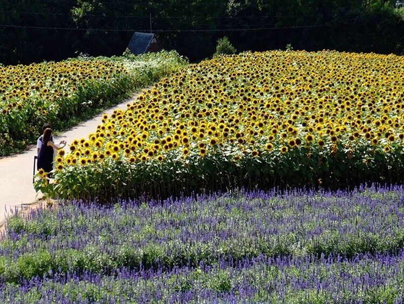 Outdoors Nature Beauty In Nature Flower FUJIFILM X-T1 Japan Sunflower 🌻 Lavender