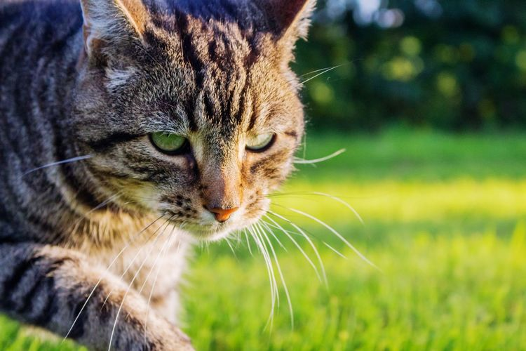 Cat Hunting Hunter Hunt Cat Photography Eyes Green Outdoors Cute Strong Dignified Animal Soft Warm Golden Light Animal EyeEm Selects Pets Feline Domestic Cat Portrait Whisker Close-up Grass