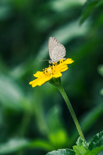 """""""Feeding from the flower"""" - Lesser grass blue butterfly sitting on a flower. Tiny Flowers Tiny Delicate Beauty Delicate Fragility In Nature Fragile Beauty EyeEm Thailand Nature Beauty Is Everywhere  Insect Insect Collection Lesser Grass Blue Zizina Otis Flower Head Flower Perching Insect Leaf Animal Themes Close-up Plant Green Color Butterfly - Insect Animal Wing Animal Markings Butterfly Invertebrate Pollen Symbiotic Relationship Animal Antenna"""