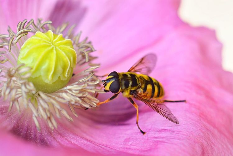 Close-up of bee pollinating a pink flower