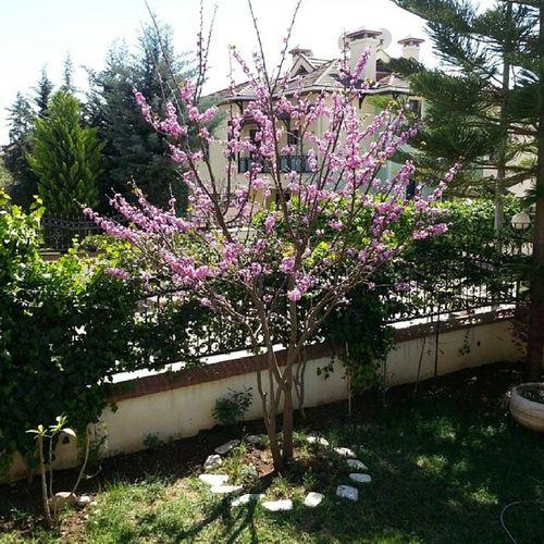Erguvan Erguvan Trees Tree Garden Photography Garden Flowers,Plants & Garden Erguvan / Judas Tree
