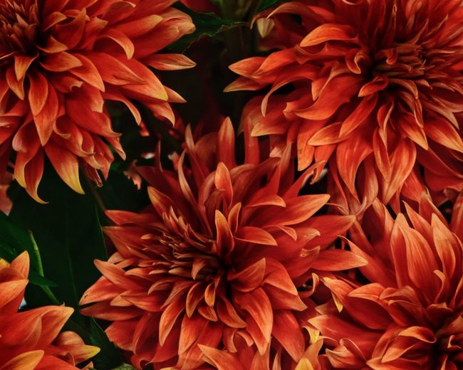 Dahlia Dahlia Flowers Dahlia Flower Background Growth Beauty In Nature Plant Flower Flowering Plant Close-up Vulnerability  Full Frame Flower Head Petal Fragility Inflorescence Freshness Backgrounds Nature Day No People Leaf Red Plant Part