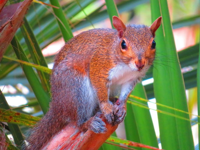 Squirrel, looking at camera, on palm tree (Florida) Squirrel Squirrel Closeup Looking At Camera Animal Looking At Camera Palm Tree Florida Wildlife & Nature Tree Close-up