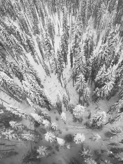 Tall Trees from Above Earth From Above Winter Beauty In Nature Growth Tranquility Tree No People Nature