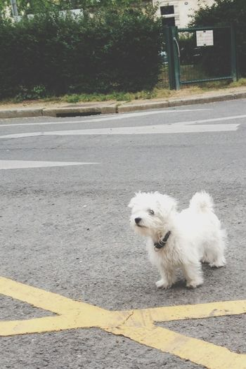 Dog White Little