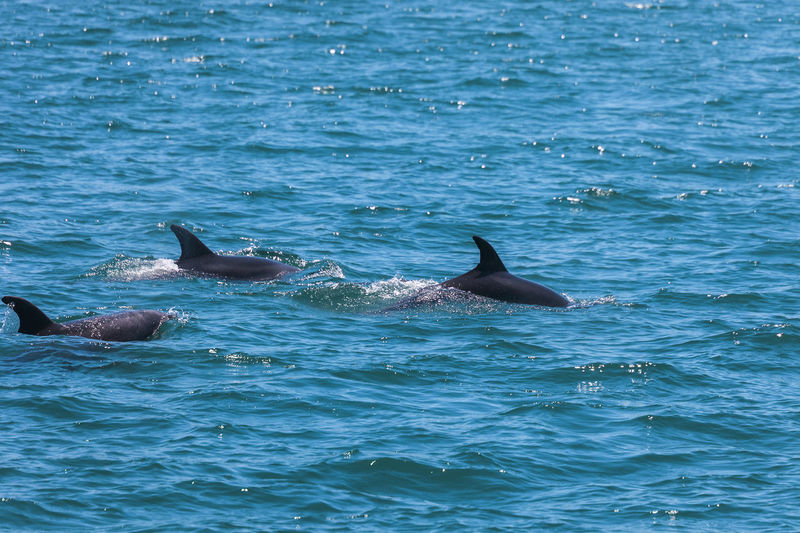 Dolphins Swimming In Sea