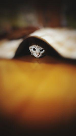 Portrait of cat peeking from below blanket