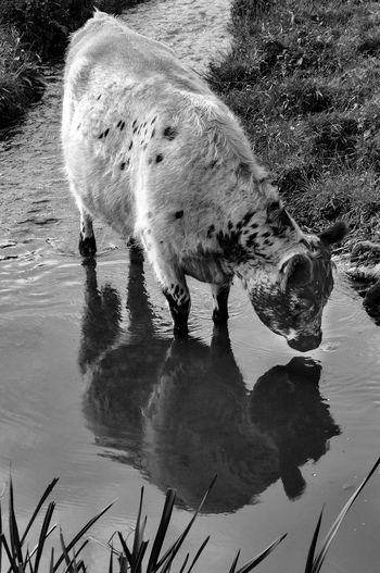 admiring natural beauty ... Animal Themes Bnw_friday_eyeemchallenge Cow Farm Life Nature BNW_farm_animals Beauty In Nature