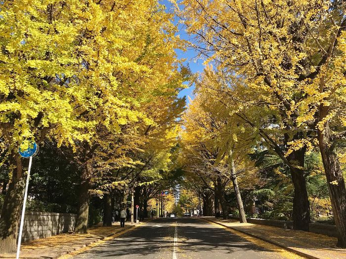 a lunch break in autumn🍁🍙🍵🍂 Today's Hot Look Hometown Sendai Miyagi Tohoku Lunch Time! Walking Around My Office Monday Autumn Autumn Collection Sunlight Cityscape Tree Beauty In Nature Yellow The Way Forward Fall Beauty EyeEm Best Shots IPhone Photography 仙台 宮城県 東北 紅葉 銀杏並木