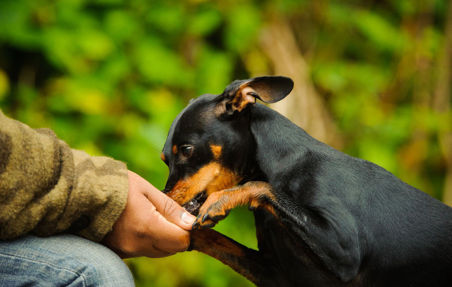 Miniature Pinscher dog Feeding  Animal Themes Bonding Close-up Day Dog Dog Photography Domestic Animals Holding Human Body Part Human Hand Min Pin Miniature One Animal One Person Outdoors People Pets Photo Pinscher Purebed Dog Reward Small Dog Training Treat