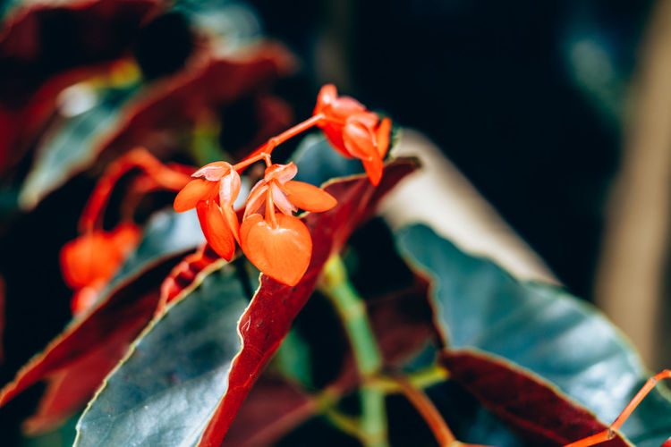 Begonia red. Heart-shaped flower. Copy Space Green Color Shape Backgrounds Beauty In Nature Begonia Blooming Close-up Contrast Flower Flower Head Fragility Freshness Valentine Growth Heart Leaf Nature Outdoors Petal Plant Red Selective Focus The Week On EyeEm Springtime Decadence