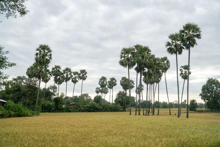 Palm trees growing on field against sky in bagan region