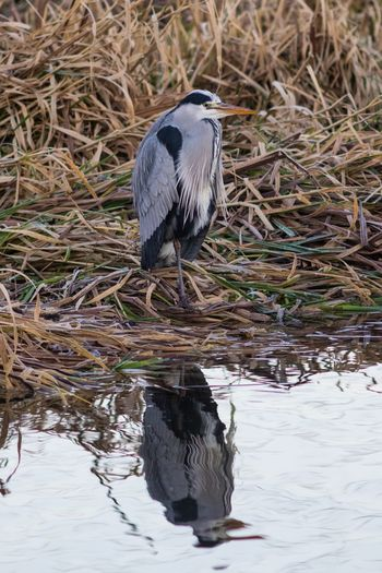 High angle view of gray heron perching on water