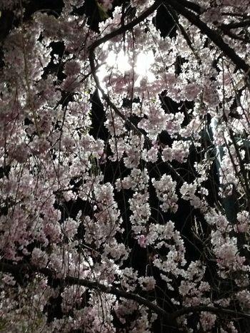 弥次喜多像の所の サクラ Cherryblossoms 桜 夜 Night