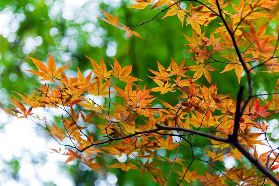 Golden Japanese maple leaves during autumn Leaf Growth Beauty In Nature Nature Autumn Day No People Outdoors Tree Change Branch Plant Flower Fragility Close-up Maple Freshness Golden