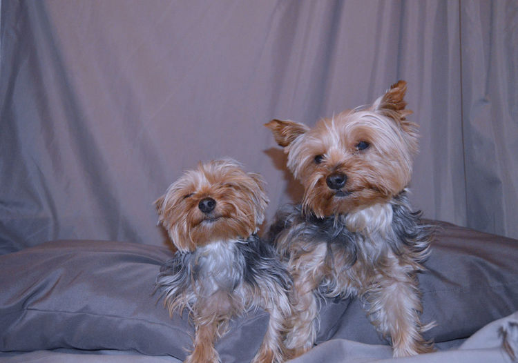 Yorkshire terriers relaxing on bed at home