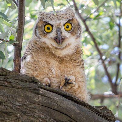 Great Horned Owlette observing curiously from the tree Utah Utahgram Owl Greathornedowl Owlette