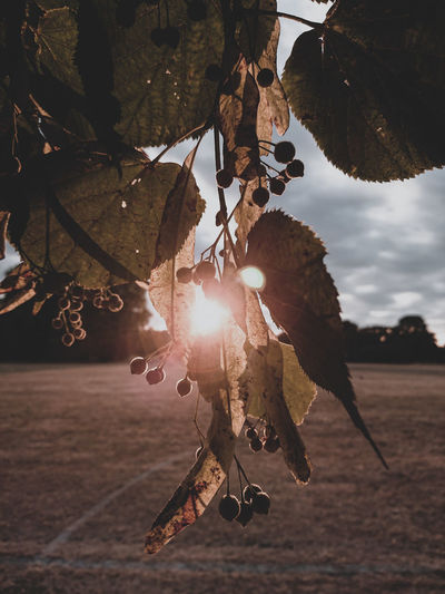 Close-Up Of Leaves Hanging From Branch During Sunset