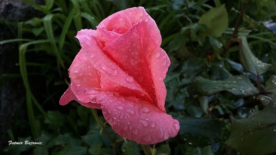 Rose Beauty In Nature Blooming Close-up Day Dew Drop Droplet Flower Flower Head Focus On Foreground Fragility Freshness Growth In Bloom Nature No People Outdoors Petal Pink Color Plant Purity Rose - Flower Season  Water Weather