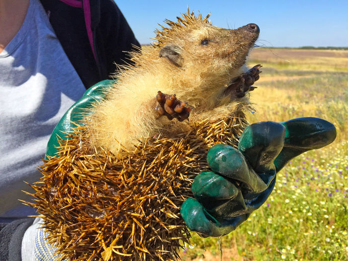 Hands Holding Hedgehog Against In Front Of Field