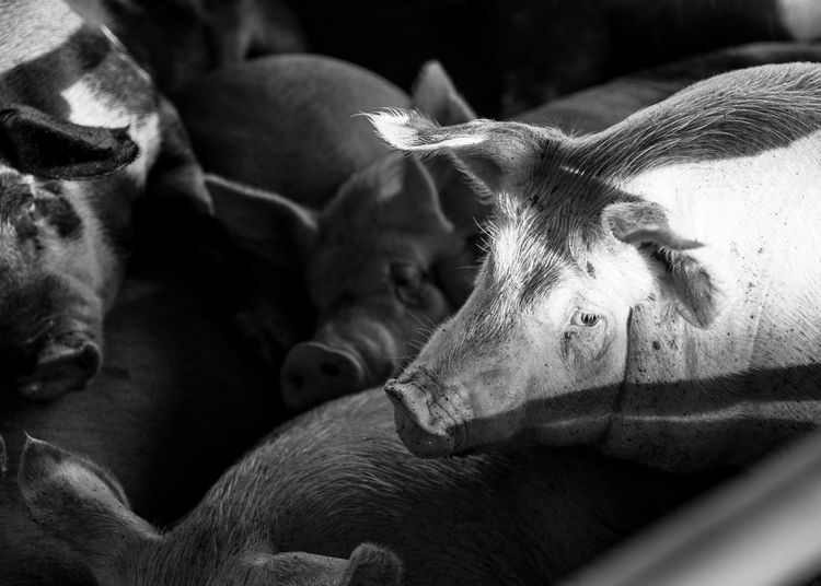 Abstract Abstract Photography Animal Body Part Animal Head  Animal Themes Animals Close-up Concentrationcamp Day Farm Focus On Foreground Food Mammal Meet Is Murder Nature No People Outdoors Part Of Pigs Pigsty Prision Resting Sad Selective Focus Shame