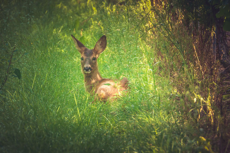 Roe Deer Capreolus Capreolus Deer European Roe Deer Animal Themes Animal Wildlife Animals In The Wild Day Deer Grass Mammal Nature No People One Animal Outdoors Roe Deer Western Roe Deer The Great Outdoors - 2018 EyeEm Awards