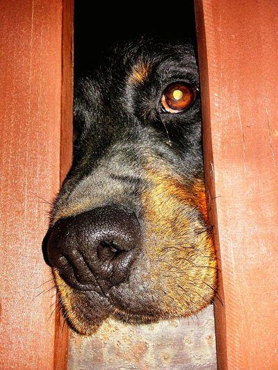 My rottweiler Rottweiler Rottweilerlove RottweilerLovers My Dog My Dog <3 Looks Sad Dog Waiting Sad Dog Eyes Big Dog Fence Dog Looks At Camera Dog Looking Dog Looking In Your Eyes Dog Looks Out Dog At Night Dog In The Garden
