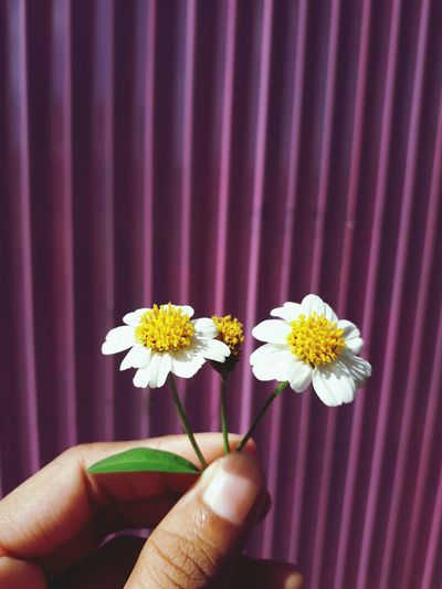 Close-up of human hand holding white flowers