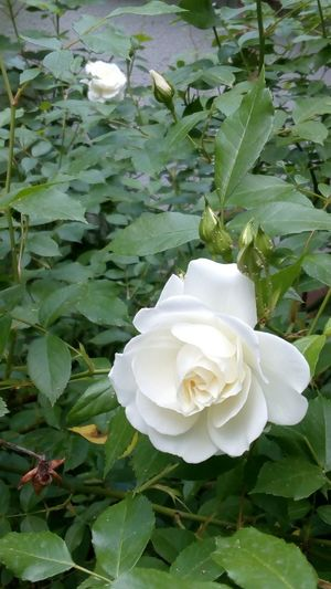 Rose🌹 White Flower Garden Memories Friends Green Green Leaves Yard Backyard Ivital