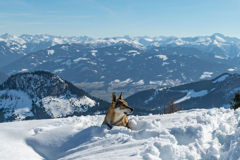View of a wolf on snowcapped mountain