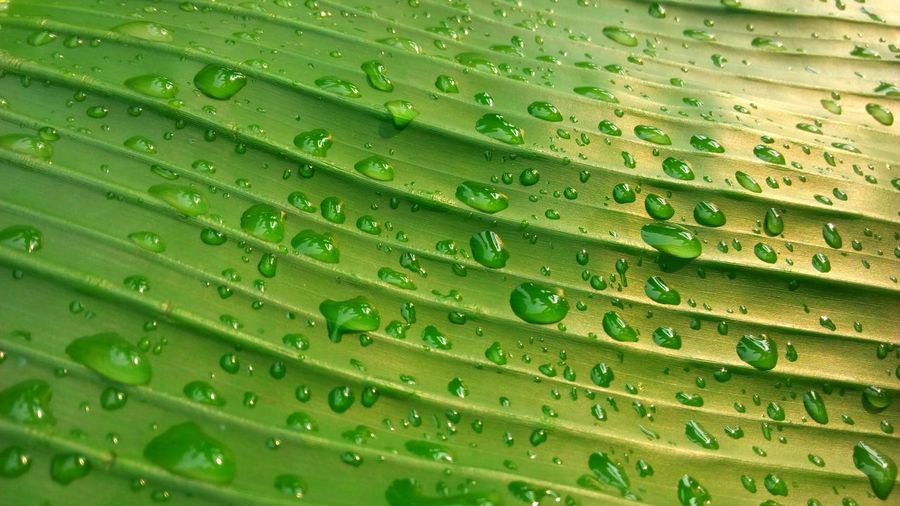 Green Color Drop Wet Water Close-up Full Frame Leaf Plant Part Backgrounds Growth Plant Nature Outdoors Pattern Freshness Leaf Vein Palm Leaf Leaves Rain RainDrop Rainy Season Purity EyeEm Best Shots EyeEm Nature Lover Wildlife Texture Concept Backdrop Wallpaper Beauty In Nature Abstract Art Fresh Lifestyles
