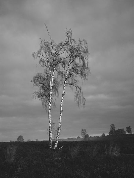 Monochrome Arboretum Nature Tree Birch Landscape VSCO